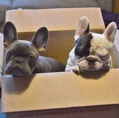 Frank and Manny, French Bulldog Brothers, via Instagram.