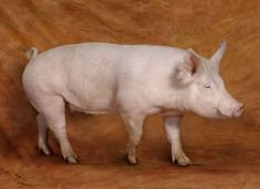 The American Yorkshire is a lean pig primarily used for bacon. It is extremely fertile and one of the most common breeds in the U.S.