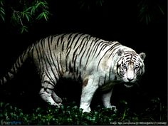 Answer This: Where can you find the rare and endangered species of white tigers in #India? 1) Ranthambore National Park, 2) Kaziranga National Park, 3) Bandhavgarh national park , 4) Gir National Park | #Wildlife | #Travel