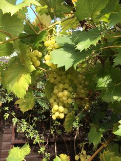 Grapes on the vine as grown by @gardenerfisher