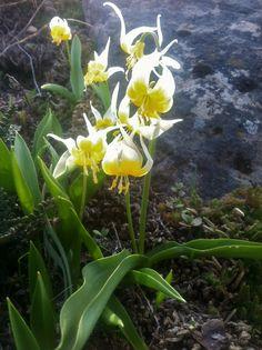 oregon wildflowers | Oregon Wildflowers: Klamath Fawn Lilies