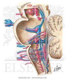 Cranial Nerve Nuclei In Brainstem, cutaway side view Gross Anatomy, Brain Anatomy, Medical Anatomy, Anatomy And Physiology, Human Anatomy, Brain Pictures, Brain Stem, Cranial Nerves, Head And Neck