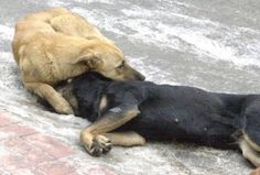 Many Turkish street dogs live in pairs. An Eskisehir death squad poisoned one. Th other dog grieves fr hs friend. This will not keep killers frm doing it again, they're heartless Street Dogs, Stop Animal Cruelty, Animal Rights, Mans Best Friend, Grief, Dog Love, Animal Rescue, Fur Babies, Pets