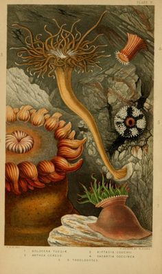 Actinologia Britannica: A history of the British sea-anemones and corals, Philip Henry Gosse, 1860.