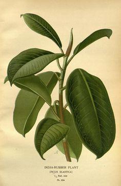 India-Rubber Plant, (Ficus elastica), 1896-97
