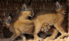 Caracal cubs, one of whom woke up like this (flawless).