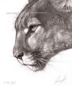 Medium: Pencil on heavy artist paper Canson 180 g For artist Aleksandar Alexov: Animal drawings are my artistic passion and I do my best to inspire them live and emotion. I am professional artist over 30 years. Graduated from Art Academy in So Pencil Drawings Of Animals, Animal Sketches, Big Cats Art, Cat Art, Cat Drawing, Drawing Sketches, Pumas Animal, Scratchboard Art, Tatoo