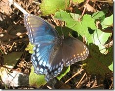 Lepicurious - a great blog from Tampa's MOSI Museum about their butterfly garden. Excellent resource for learning and butterfly gardening.