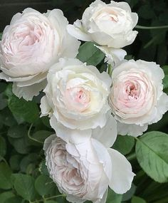 👋👋 It's Yenny , highlighting my favorite flower picture in motions. Beautiful Rose Flowers, Love Rose, Flowers Nature, Beautiful Flowers, White Roses, White Flowers, Pink Roses, Perennial Flowering Plants, David Austin Roses