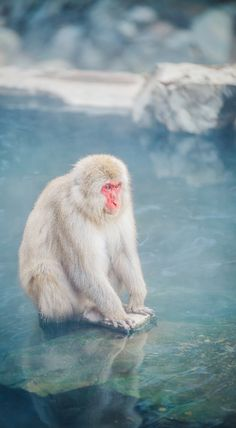 Playful snow monkeys in Japan that love to take a bath in the natural hot springs.