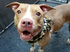 JADA - A1045852 - - Manhattan  TO BE DESTROYED 08/07/15  A volunteer writes:  I must have passed Jada's kennel a dozen times, and each time I promised her I would be back for her and each time she was right up front, looking at me expectantly, smiling and wagging her tail.  Hours later I made good my promise, and she wagged and smiled as I leashed her and made a beeline for the door.  Leaving a clean kennel behind her she went potty as soon as we hit the street, makin