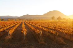 A photo of Autumn vines at Clearview Estate, Mudgee. Photo by Amber Hooper. First Photo, Us Travel, Vines, Vineyard, Journey, Amber, Nature, Photography, Outdoor