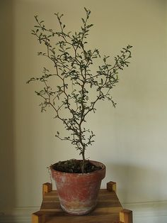 + Sophora prostrata little baby 04   by Plantules