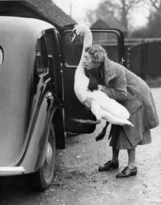 Swan going for a car ride