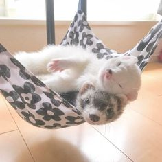 cute ferrets ♡ For a photo that looks like a model of a fried . Baby Ferrets, Funny Ferrets, Ferret Cage, Pet Ferret, Cute Baby Animals, Animals And Pets, Funny Animals, Chinchilla, Otter