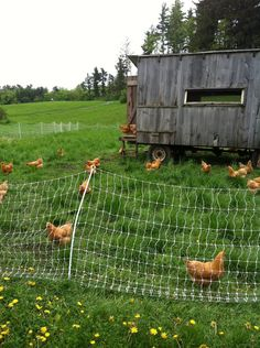 backyard chickens!!