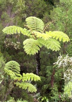 Cyathea glauca soft tree fern graines