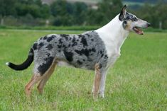 Toonian Smooth Collies : SMOOTH COLLIE