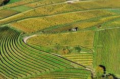 Image result for vines planted in formation