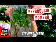 Cómo reproducir Romero - 3 Fáciles métodos - Cosas del Jardin Herb Garden, Vegetable Garden, Garden Plants, Planter Boxes, Planters, Rosemary Herb, Outside Patio, Terrarium Plants, Aromatic Herbs