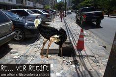 Procurando um buraco para se esconder é o trabalho de Edla Mendes. Nem o pobre do avestruz aguentou tamanha decepção e contrariedade com as calçadas do Recife: tratou logo de tirar a vista dessa vergonha.