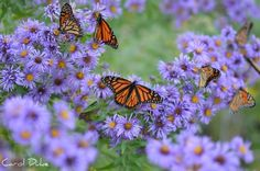 It Is Hard To See The New England Asters For All The Monarchs!