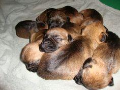 Border Terrier puppies.