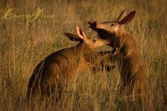 Aardvark at #Tswalu.  Pic by Cameron Pearce.