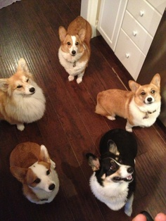 twosillycorgis:    We know you have cookies. Hand 'em over or we will be forced to kill you