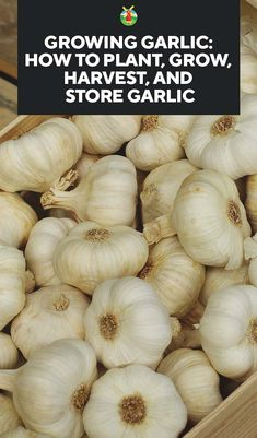Growing Garlic: How to Plant, Grow, Harvest, and Store Garlic Anbau von Knoblauch: Wie man Knoblauch Home Vegetable Garden, Tomato Garden, Growing Tomatoes In Containers, Growing Vegetables, Gardening Vegetables, How To Plant Vegetables, Growing Onions, Grow Tomatoes, Growing Herbs