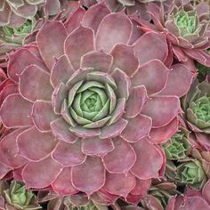 Sempervivum ArondinaOlive green leaves flushed with a beautiful rose color.Choose from regular pot size - or Jumbo pot size - Jumbo size is a more established plant. Alpine Garden, Alpine Plants, Mini Fairy Garden, Fairy Gardens, Mushroom Kits, Hens And Chicks, Indoor Planters, Rose Cottage, Desert Rose