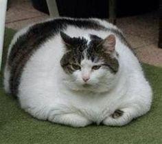 19 Fotos de gatos gordos