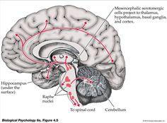 Serotonergic Pathways: Dorsal and Median Raphe ---> Cerebral Cortex. Dorsal Raphe--> Basal Ganglia. Median Raphe--> Dentate gyrus