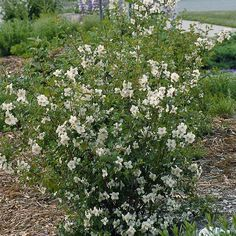 Cheyenne® Mock Orange- Philadelphus | High Country Gardens