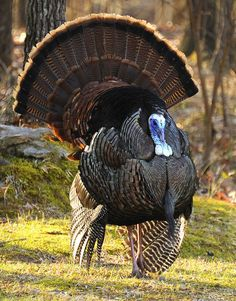 Turkeys strut their stuff in the Spring: Have your camera ready!