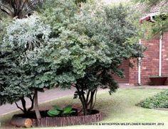 Diospyros whyteana, 2-5m, deep shade to full sun, evergreen, good screening plant