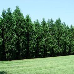 The nation's toughest privacy tree - Murray Cypress trees are an improved cypress variety that puts the competition to shame by being extremely pest and disease resistant as well as drought tolerant. In areas with scorching heat and humidity where other cypress varieties fail, the Murray Cypress thrives. Plus, it has stronger...