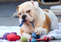 ❤ Tyson enjoying his toys ❤ Posted on Bulldog Pics