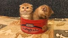 Cute Funny Animals, Cute Baby Animals, Animals And Pets, Funny Cats, Cute Cats And Kittens, I Love Cats, Kittens Cutest, Beautiful Cats, Animals Beautiful
