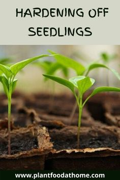 Find out how to easily harden off seedlings and avoid transplant shock. Hardening off seedlings provides greater success in the garden. #hardeningoffseedlings #hardenoffplants Hardening Off Seedlings, Everything All At Once, Edible Garden, Pest Control, Personal Development, Gardening Tips, How To Apply, Herbs, Day