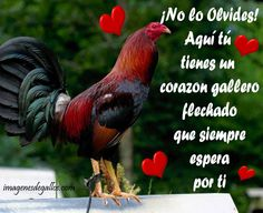 Fotos De Gallos Con Frases De Amor Live Chicken, Game Fowl, Beautiful Chickens, Hens, Rooster, Gym, Tattoos, Pretty Quotes, Motivational Quotes