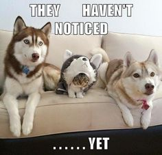 This kitty thinks she's the master of disguise. #cats #dogs