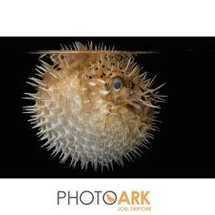 A longspined porcupinefish at the Nebraska Aquatic Supply.#photoark #joelsartore #beautiful #photooftheday #natgeo