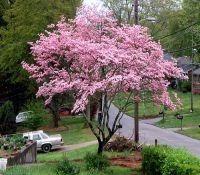 Tree Seeds for Sale - Flowering Dogwood Tree Seeds, $4.00 (http://www.treeseedsforsale.com/flowering-dogwood-tree-seeds.html)
