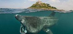 Basking Shark, Scotland.                                                                                                                                                                                 More