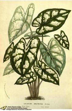 Humboldt Caladium. Caladium humboldtii  (1858)