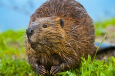 Speak Out Against Beaver Massacre in the Township of Toms River, New Jersey! Beaver Facts, Beaver Dam, Oregon Game, North American Beaver, Canadian Identity, Le Castor, Animal Magazines, Animal Symbolism, Animals