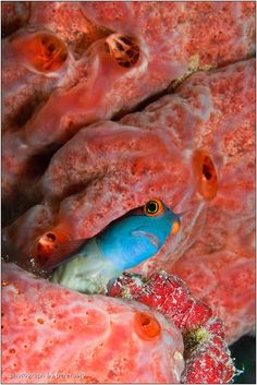 21 best fish blenny images ocean creatures marine life