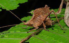 Dwarf dry-leaf katydid (Typophyllum sp, Pseudophyllinae)   Flickr – 相片分享!