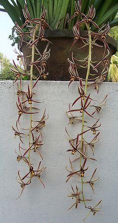Cymbidium bicolor, by presam, via Flickr